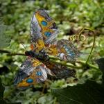 Albertus Swallowtail