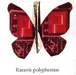 Raravis polyphemus